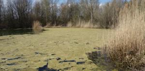 Der Zamilasee kurz nach der Sanierung: Dicke Algenmassen bedecken das Gewässer. Foto: Privat