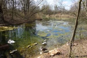 Ein Schwan putzt sich in der greislig-grünen Algenbrühe kurz nach der Sanierung des Zamilasees.
