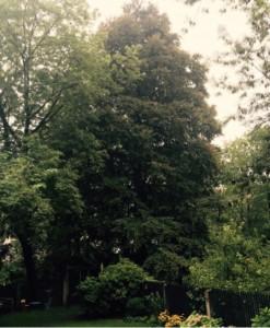 Diese etwa 25 Meter hohen, 100 Jahre alten Buchen – ein so genannter Bündelbaum wegen der wohl gleichzeitig erfolgten Pflanzung – auf einem Grundstück an der Pienzenauerstraße im Herzog¬park sind nach Beurteilung der Unteren Naturschutzbehörde kein Naturdenkmal.     Foto: CSU