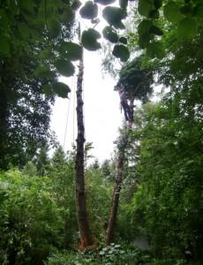 Baumkletterer in einem Garten: Ehe diese etwa 50 Jahre alten Birken gefällt werden konnten, mussten per Motorsäge die Äste entfernt werden.  Foto: hgb